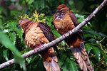 Brown Cuckoo  Doves