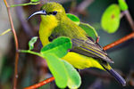 Yellow Bellied Sunbird Female