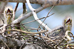 Striated Heron Chicks