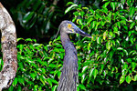 Great Billed Heron